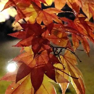 京都 高台寺の紅葉ライトアップ